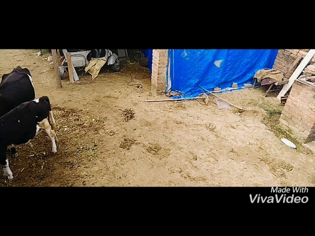 Funny punjabi video