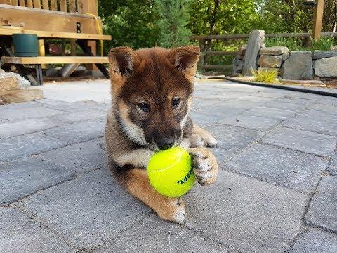 Sekoya the Shikoku Dog