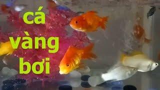 Nhạc thiếu nhi cá vàng bơi kênh trẻ em- video cho bé yêu