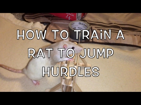 How To Train A Rat To Jump Over A Hurdle (A Jump)