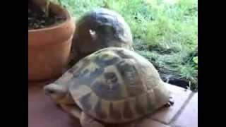 Черепахи Чпокаються ))
