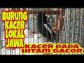 Suara Kacer Lokal Jawa Dada Hitam Gacor Cocok Jadi Masteran  Mp3 - Mp4 Download