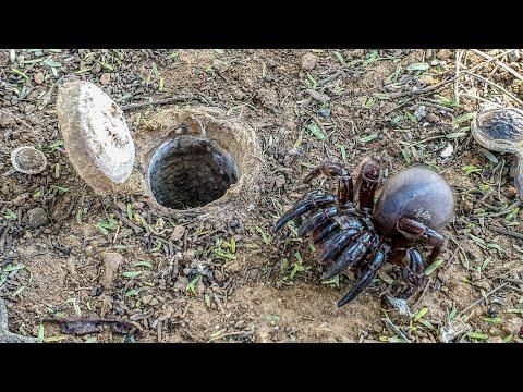African Trapdoor Spider