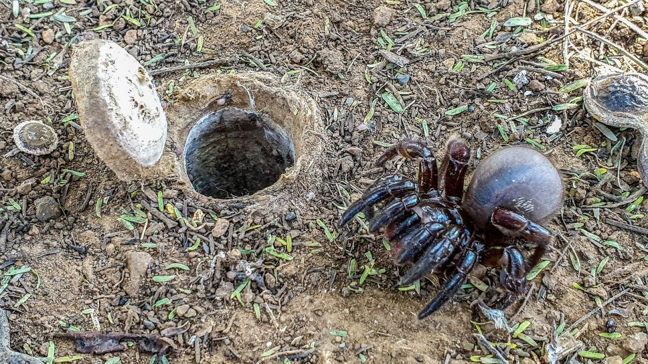 Download African Trapdoor Spider