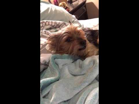 Evil Yorkie doesn't want to bathe