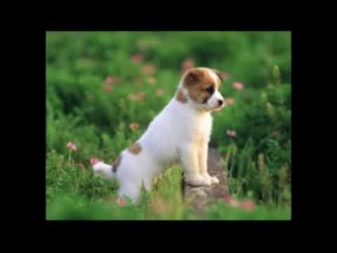 yavru köpek sesi yavru köpek havlaması