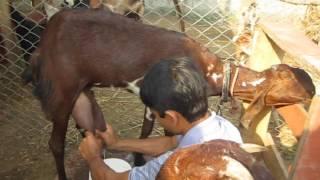 milking goat in farm