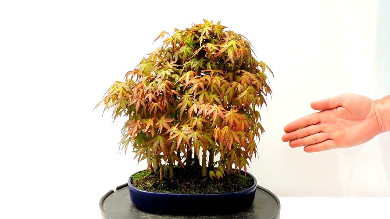 Vídeo 360º Bonsái Bosque Acer Palmatum Arce Yamamomiji Yose Uye