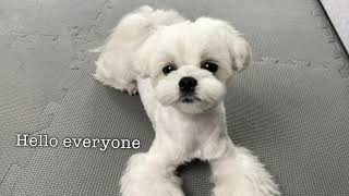 LIVING WITH A MALTESE PUPPY
