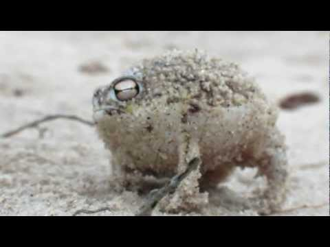 worlds-cutest-frog---desert-rain-frog
