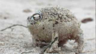 worlds cutest frog desert rain frog