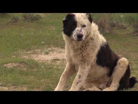 видео: Аборигенные САО Таджикистана   Саги Дахмарда и Гиссарские овцы  на перегоне