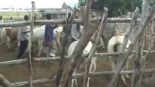 Vaccination du betail au MALI