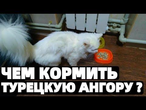 Турецкая Ангора кошка чем ее кормить ?
