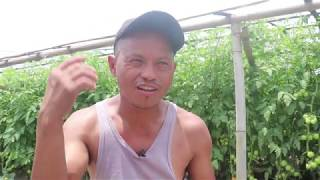 माइला दाईको मिहेनतले यस्तो भयो गोलभेडा खेती Tomato Farm in Nepal