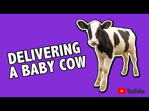 Ever seen a cow deliver a beautiful baby girl :)