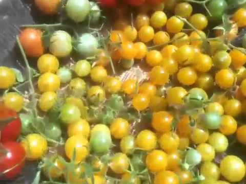 Organic Cherry Tomatoes Self Seed