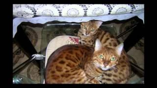 Шотландская кошка мраморного окраса