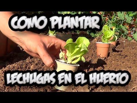Como Plantar Lechuga En El Huerto Con Exito La Huertina De Toni