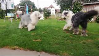 One Day in a Old English Sheepdog life!