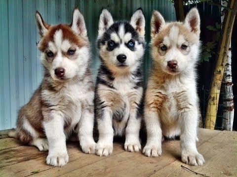 Щенки Хаски! Питомник собак породы Сибирский хаски.