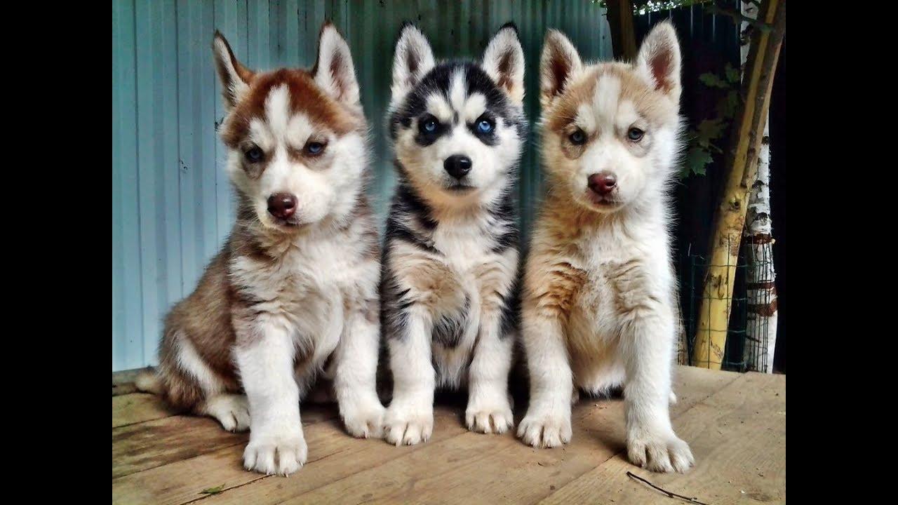 Хаски. Собаки. Хаски. Хаски. Объявления о продаже щенков и взрослых собак с фотографиями. Тип цена наличие фото.