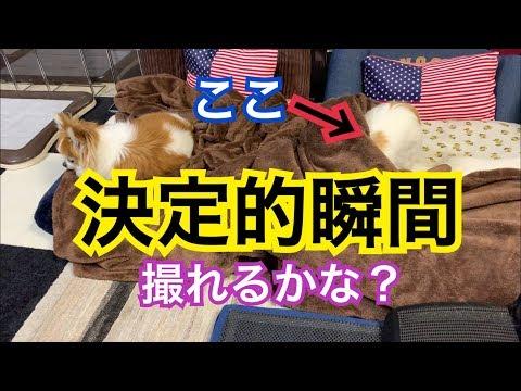 💖 どう見ても布団の使い方が間違っている妹チワワ【かわいい】【チワワ】【funny】【dog】【cute】