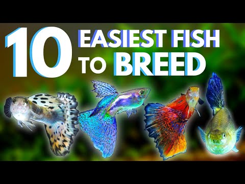 10 Easiest Fish To Breed + Care For (UPDATED)