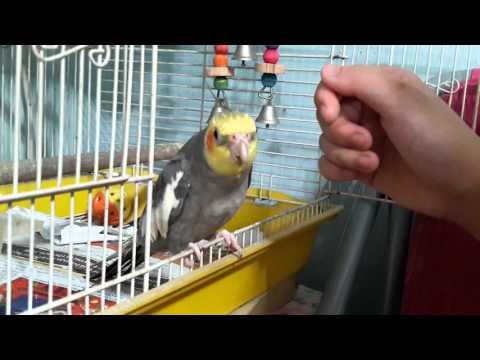 Cockatiel singing If You're Happy and You Know It + Totoro Theme Song