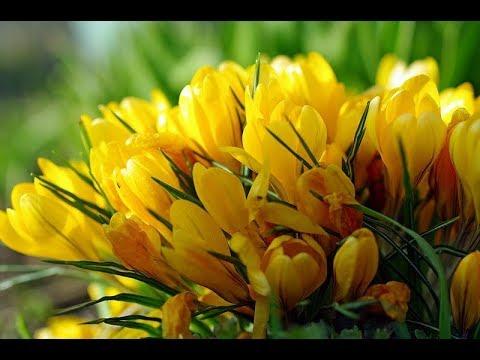 Крокусы уход в домашних условиях до и после цветения