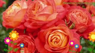 Роза флорибунда Мидсаммер. Краткий обзор, описание характеристик, где купить саженцы Midsummer