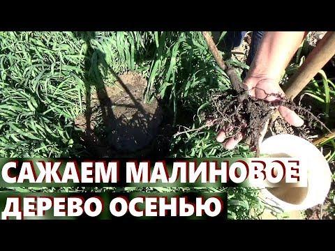 Как вырастить малиновое дерево  Штамбовая малина осенью Как сажать   штамбовая   малиновое   вырастить   малиной   сажать   осенью   малина   дерево   уход   как
