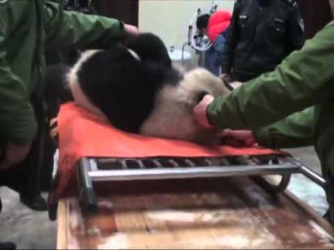 Wild giant panda freed after recovery in SW China