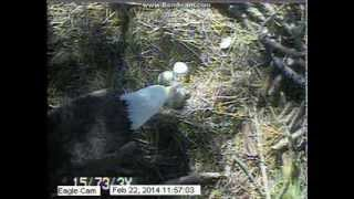 Blackwater NWR Eagles: The first meal for the first chick :)