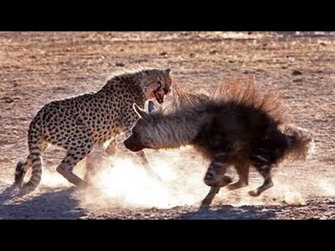 Animals Documentary ⊰ Leopard's Risks - Hyenas and Lions ⊱ National Geographic  Full Documentary