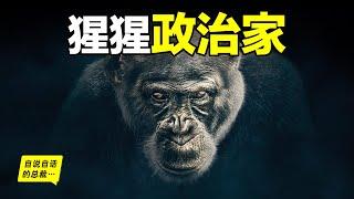 黑猩猩的政治比人類更擅長政治的動物……|自說自話的總裁