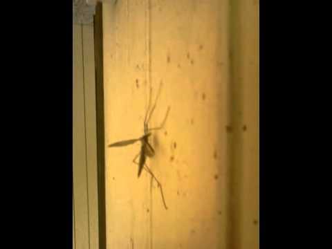 Giant crane fly (mosquito hawk)