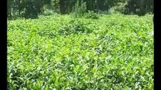 Chai ki kast (Tea cultivation ) part 2 Dr.Ashraf Sahibzada