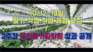 딸기 적엽작업 및 체험 모집(10/12~13) /  2…