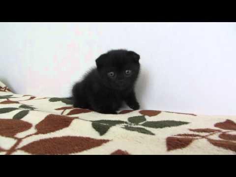 шотландские котята. Чёрный фолд котик.