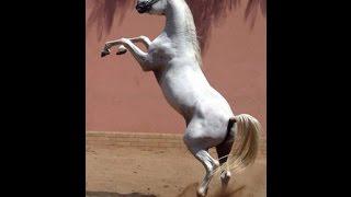 Download Video صوت الحصان - صهيل الحصان - صوت الخيل MP3 3GP MP4