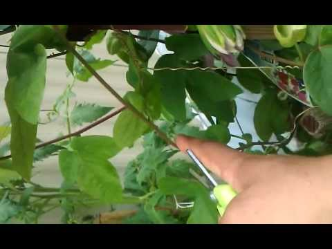 Growing Passion Flower from cuttings 1 of 4