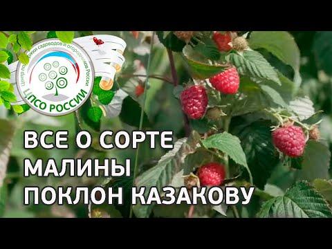 Сорт малины Поклон Казакову.  Ремонтантная малина Поклон Казакову, описание и особенности сорта. | выращивание | вырастить | открытый | рассада | посадка | агроном | семена | сажать | россии | огород