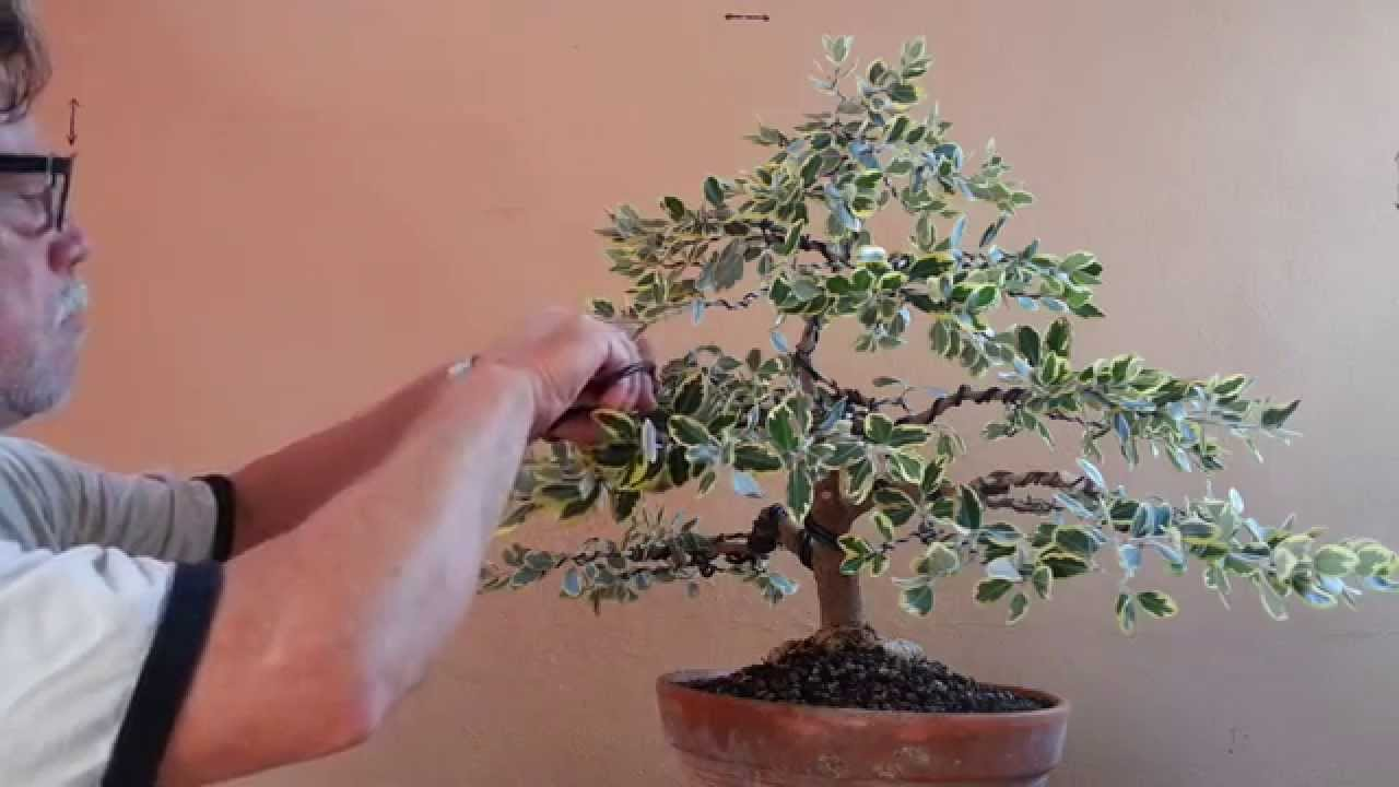Como hacer un bonsai en 24 horas antonio ruiz youtube - Como cuidar un bonsai ...
