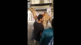 Black Camel Qurbani Bakra Eid