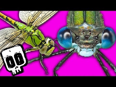 Dragonfly vs Damselfly - Deadliest Showdowns (Ep 4) - Earth Unplugged