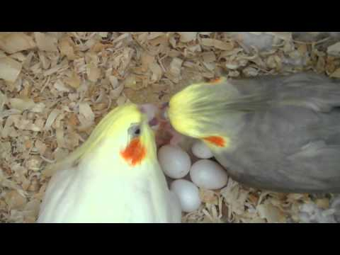 Chicken laying egg close up - photo#21