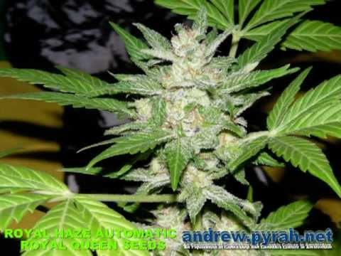 Royal Haze Automatic THE GROW - FROM SEED TO BUD - Long Version