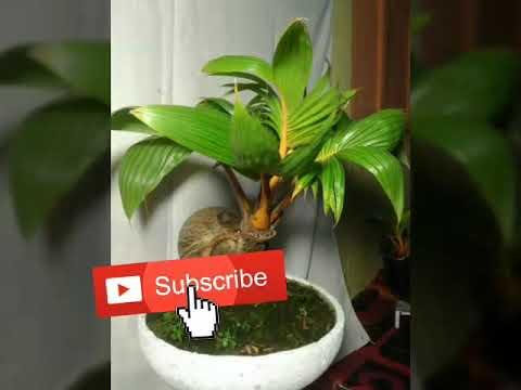 Jenis Jenis Bonsai Kelapa Bonsai Pemula Youtube