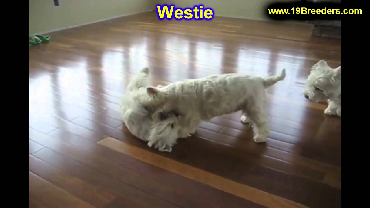 West Highland Terrier, Puppies, For, Sale, In, Duluth ...